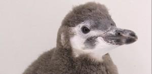 ペンギン、 (13)